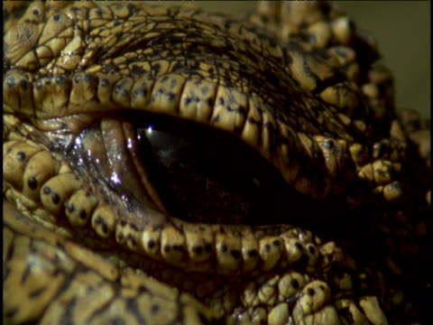 nile crocodile's eye opens and closes. - blinking stock videos & royalty-free footage