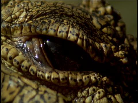 Nile crocodile's eye opens and closes.