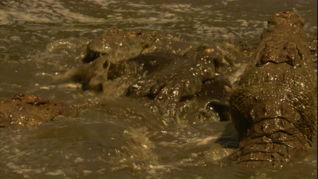Nile crocodiles feed on a wildebeest in a river in Tanzania. Available in HD.