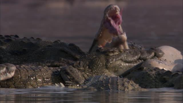 Nile crocodiles (Crocodylus niloticus) feed on hippo carcass in river, Luangwa, Zambia