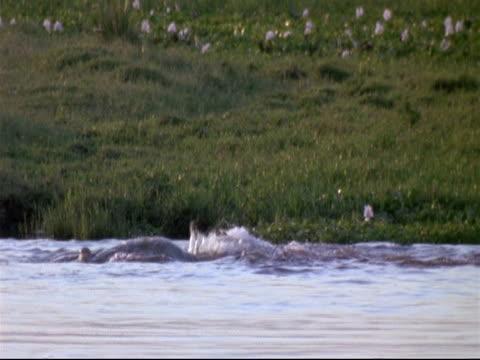 nile crocodiles (crocodylus niloticus) - ms group of crocodiles feeding in water, thrashing about, mana pools, zimbabwe - クロコダイル点の映像素材/bロール