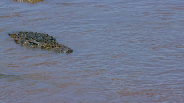 Nile Crocodiles In Mara River Maasai Mara  Kenya  Africa