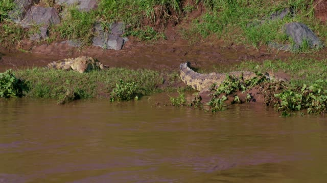 nile crocodiles on river bank, maasai mara, kenya, africa - symbiotic relationship stock videos & royalty-free footage