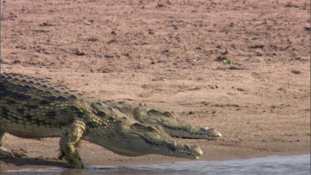 nile crocodiles (crocodylus niloticus) on riverbank, luangwa, zambia - entering stock videos & royalty-free footage
