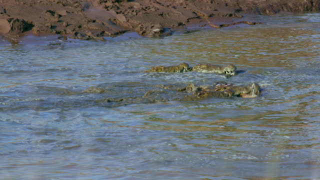 nile crocodiles with thomson's gazelle kill maasai mara, kenya, africa - totschlag stock-videos und b-roll-filmmaterial