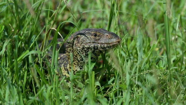 nile monitor lizard in grass, maasai mara, kenya, africa - lizard stock videos and b-roll footage