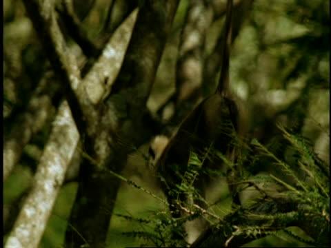 vídeos de stock, filmes e b-roll de ms nilgiri langur, prebytis johnii, crawling around in tree, western ghats, india - menos de 10 segundos