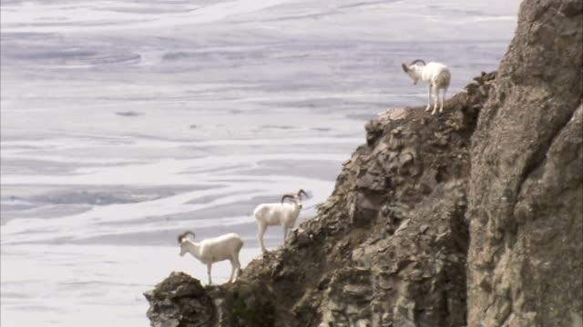 vídeos de stock e filmes b-roll de nimble dall sheep stand on rocky ledges above a wilderness fjord. - peitoril de janela