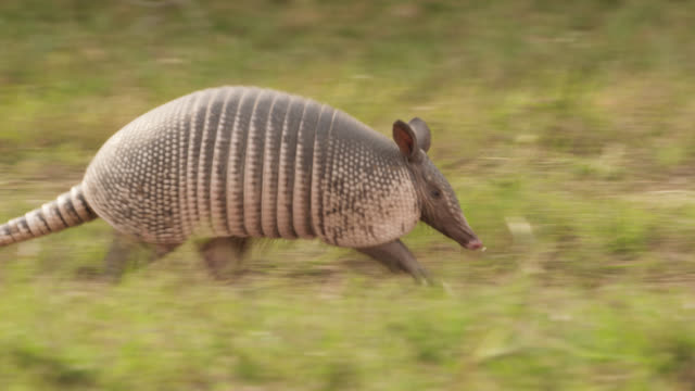 Nine banded armadillo (Dasypus novemcinctus) runs through grass.