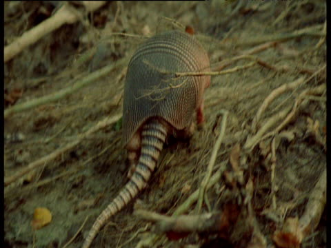Nine-banded armadillo crosses stream and barges through undergrowth, South America