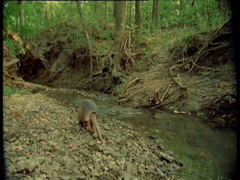 Nine-banded armadillo crosses stream, South America