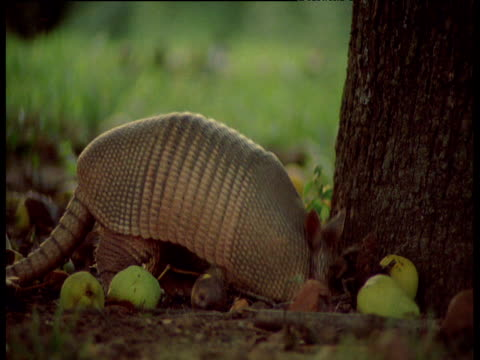 Nine-banded armadillo forages at base of tree, South America