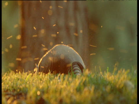 Nine-banded armadillo forages at sunset surrounded by flies, South America