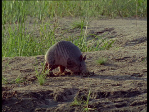 nine-banded armadillo forages in mud, south america - foraging stock videos and b-roll footage