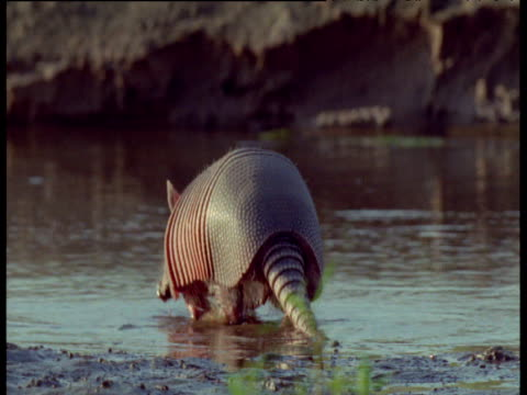 Nine-banded armadillo paddles in water and mud, South America