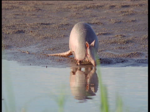 Nine-banded armadillo reflected in stream as it forages on bank, South America