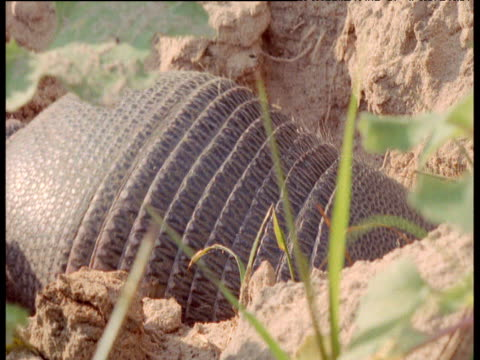 Nine-banded armadillo scales as it digs in hole, South America