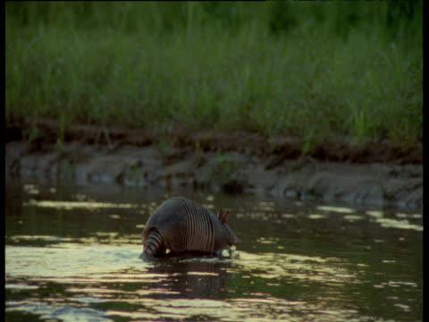 Nine-banded armadillo swims across stream, South America