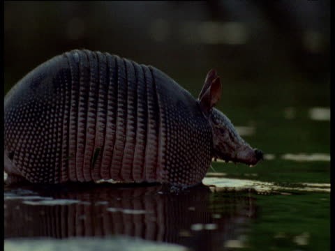 Nine-banded armadillo swims across stream, South America