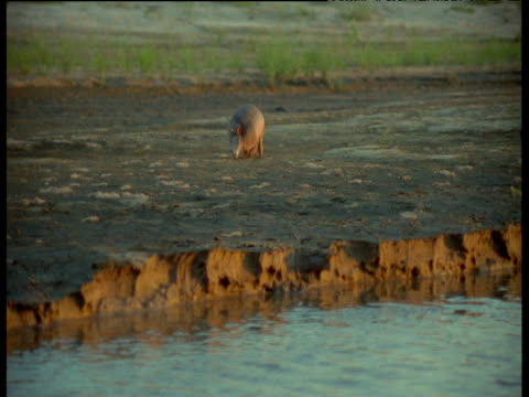 Nine-banded armadillo walks across mud, South America