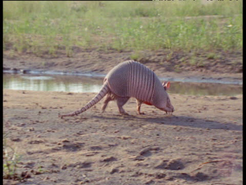 Nine-banded armadillo walks over mud, South America