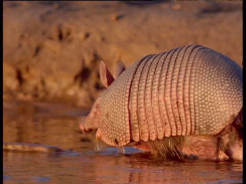 Nine-banded armadillo walks through muddy stream, South America