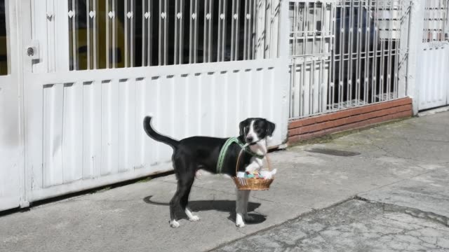 nino a dog in bogota has been helping his owner during the days of the pandemic by shopping for the elderly owner carrying a basket in his mouth nino... - colombia stock videos & royalty-free footage