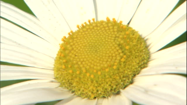 vidéos et rushes de a nippon daisy blooms on the tanesashi coast. - marguerite