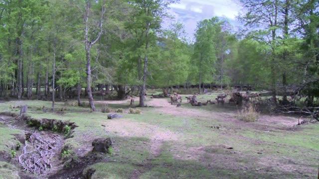 vídeos de stock e filmes b-roll de no vivian en la patagonia chilena pero hoy la invasion que se produjo de la mano del hombre de animales como el ciervo rojo y el jabali amenaza con... - mamífero ungulado