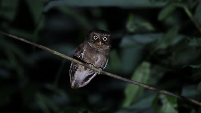 nocturnal bird : adult mountain scops owl (otus spilocephalus) - night stock videos & royalty-free footage