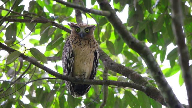 nocturnal bird : buffy fish owl (ketupa ketupu) - one animal stock videos & royalty-free footage
