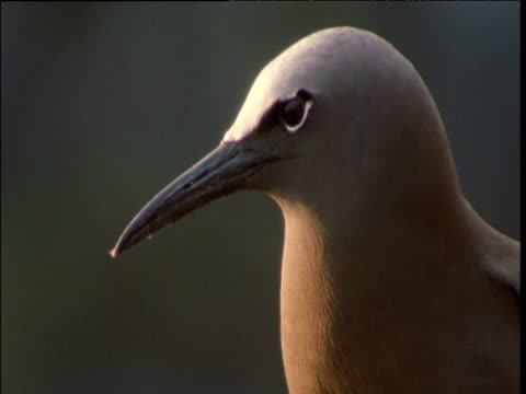noddy tern looks up and gapes beak, lord howe island - maul stock-videos und b-roll-filmmaterial