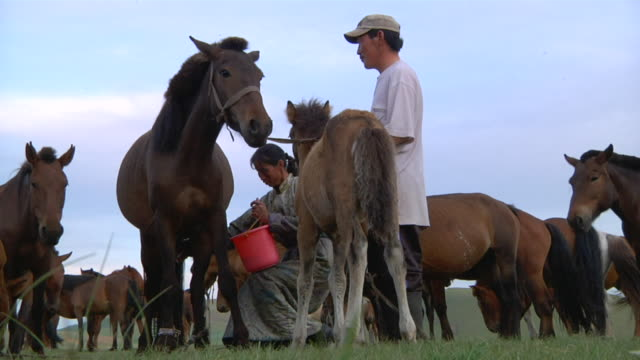 ms nomad woman milking mare / central-south mongolia, mongolia - melken stock-videos und b-roll-filmmaterial