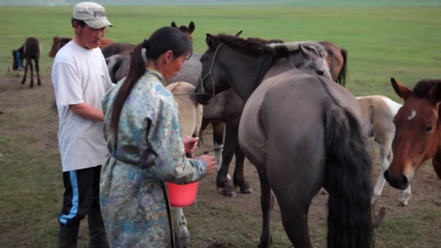 ms nomad woman milking of mare / central-south mongolia, mongolia - milking stock videos & royalty-free footage
