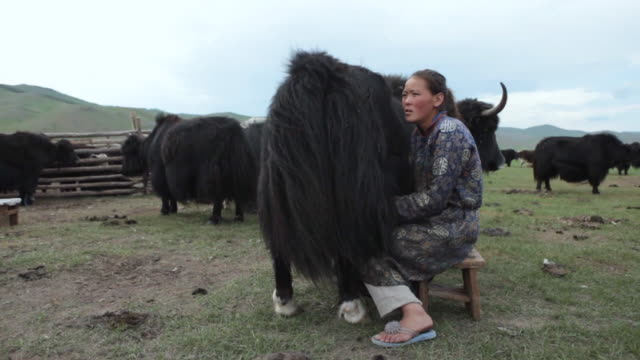 ms nomad woman milking yak / central-south mongolia, mongolia - milking stock videos & royalty-free footage