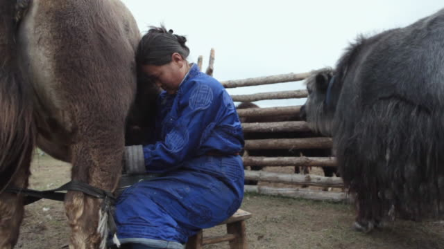 ms nomad woman milking yak / central-south mongolia, mongolia - nomadic people stock videos & royalty-free footage
