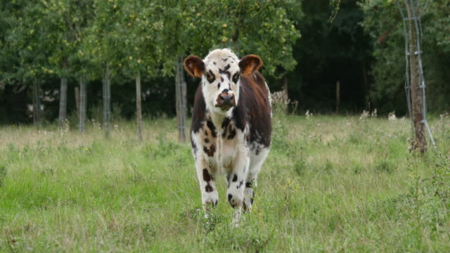 normandy cattle, cows in meadow, normandy, real time 4k - cow stock videos & royalty-free footage