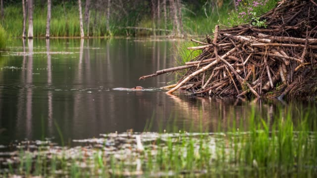 north american beaver (castor canadensis) - beaver stock videos & royalty-free footage