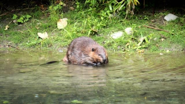 north american beaver - biber stock-videos und b-roll-filmmaterial