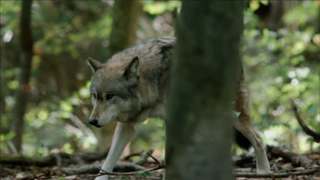 North American Eastern Wolf (CANIS LUPUS) walks through forest