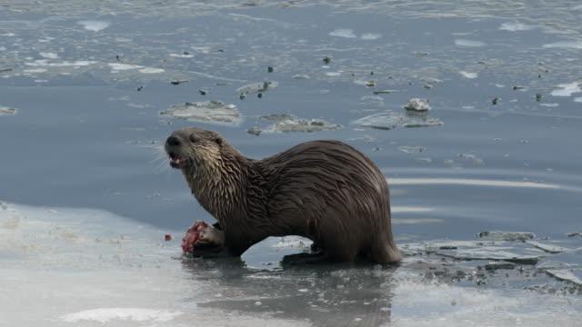 vídeos y material grabado en eventos de stock de ms ts  north american river otter (lontra canadensis) eating a fish on the frozen banks of the snake river - nutria de río