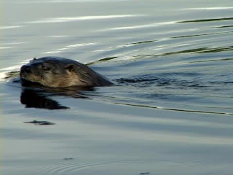 zi, cu, north american river otter (lontra canadensis) swimming in stream, algonquin provincial park, ontario, canada - カワウソ点の映像素材/bロール