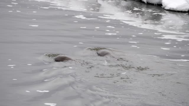 vídeos y material grabado en eventos de stock de nutria de río de américa del norte - nutria de río