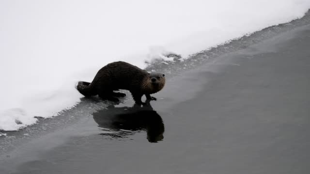 north american river otter - river yellowstone stock videos & royalty-free footage