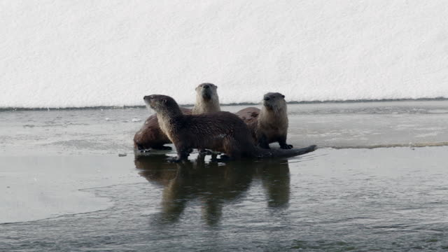 ms   3 north american river otters (lontra canadensis) barking on the frozen banks of the snake river - otter stock videos and b-roll footage
