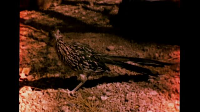 stockvideo's en b-roll-footage met north american sidewinder quickly crawling across rocks vs greater roadrunner walking on rocky land ms snake bird circling each other dark shadows... - renkoekoek