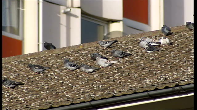 north london council introduces hawks to deal with pigeon problem trafalgar square side view of lion statues pull focus pigeon general view of... - ledge stock videos & royalty-free footage