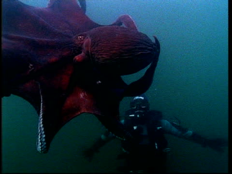 north pacific giant octopus (enteroctopus dofleini) and diver, puget sound, washington, usa - tentacle sucker stock videos & royalty-free footage