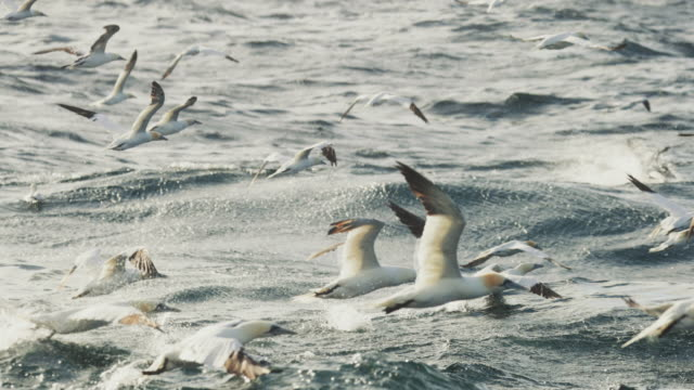 north sea birds diving into the sea: feeding frenzy - fischerboot stock-videos und b-roll-filmmaterial