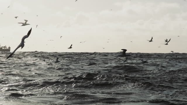 north sea birds diving into the sea: feeding frenzy - fishing stock videos & royalty-free footage